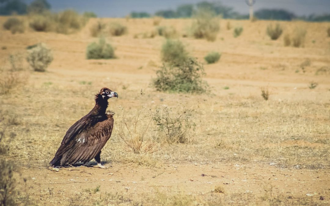From the largest larks to the hyped Hypocolius – A myth-busting journey into the grasslands of Kachchh
